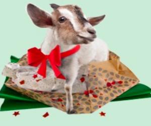 oxfam goats